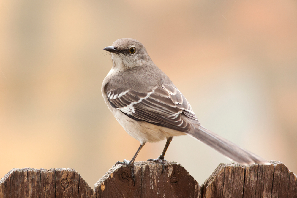 Why is the mockingbird so special?