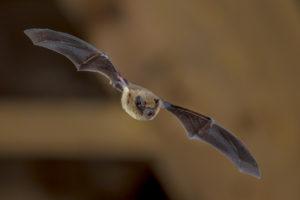 How bats use SONAR