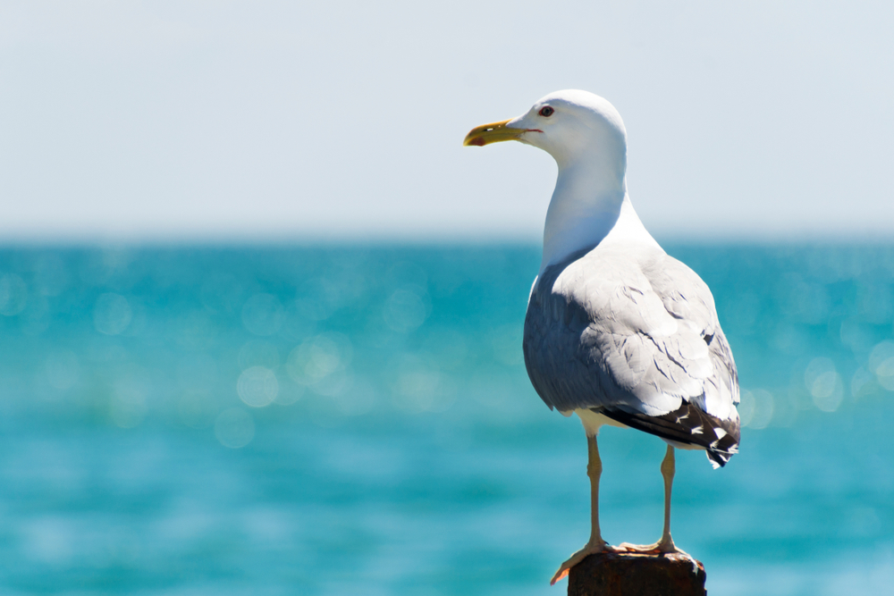 The life and adventure of your average gull