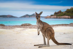Kangaroos – Incredible animal or unwanted pest?