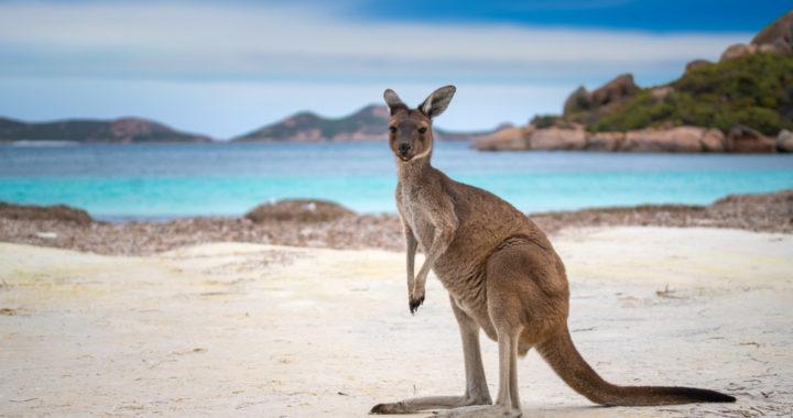 Kangaroos – Incredible animal or unwanted pest?