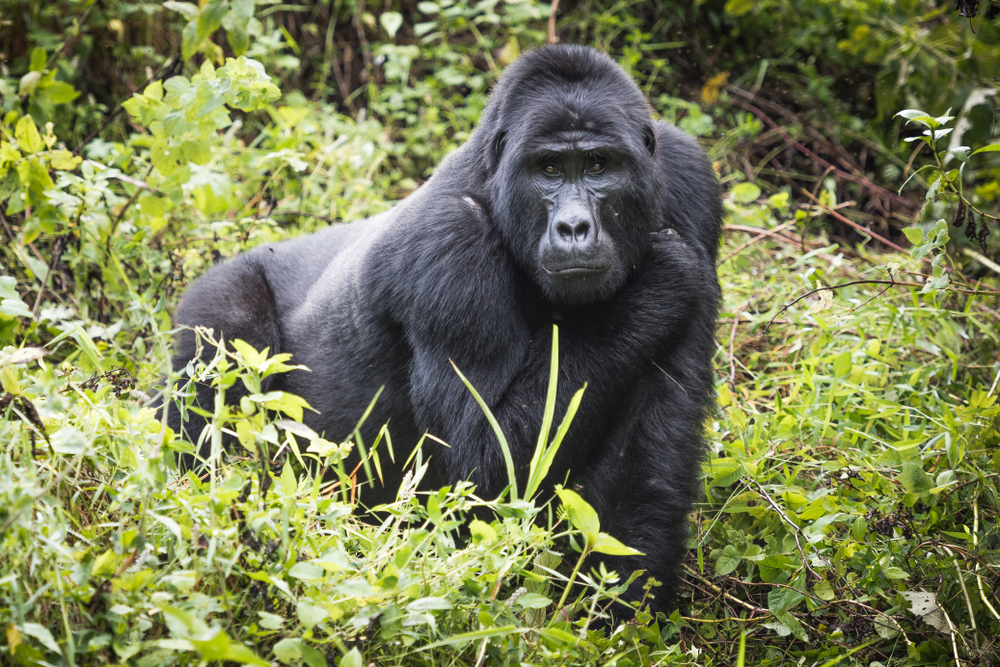 Humans can pass diseases to gorillas