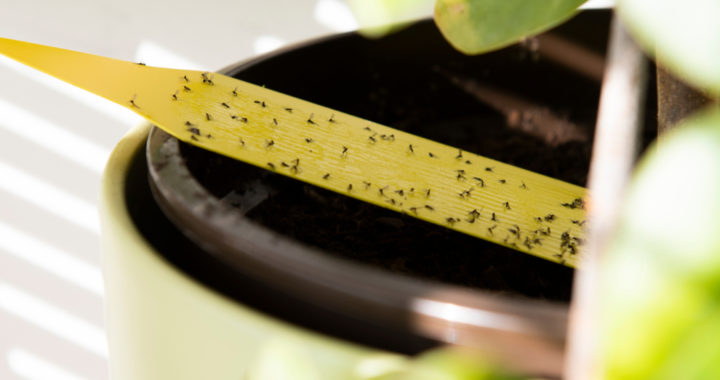 How to get rid of tiny flies
