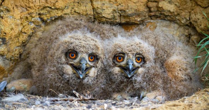 The Eurasian-Eagle owl and the Dutchman