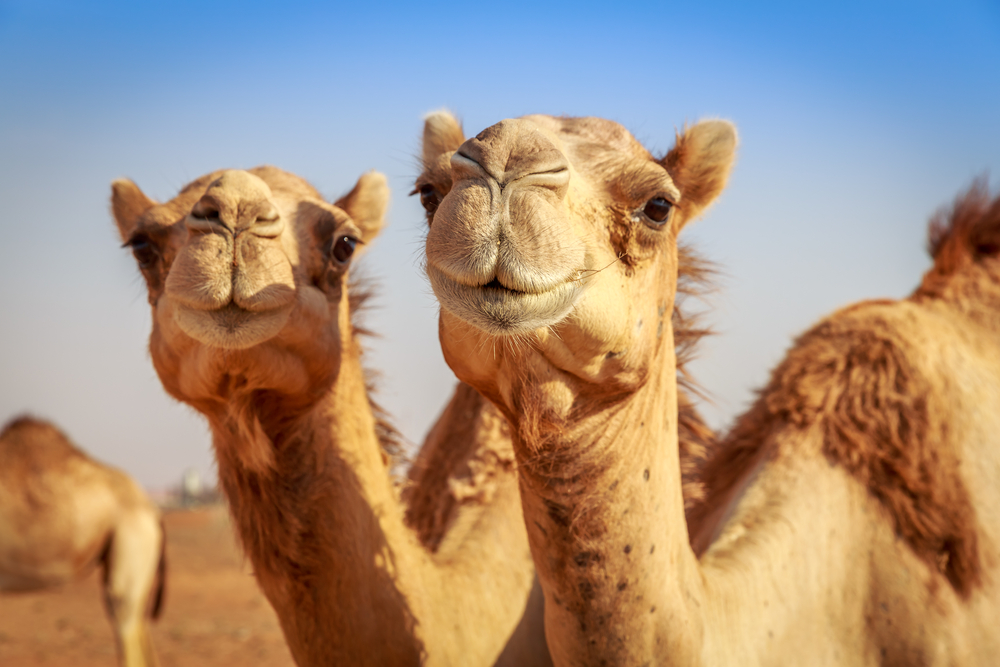 Why a camel has humps