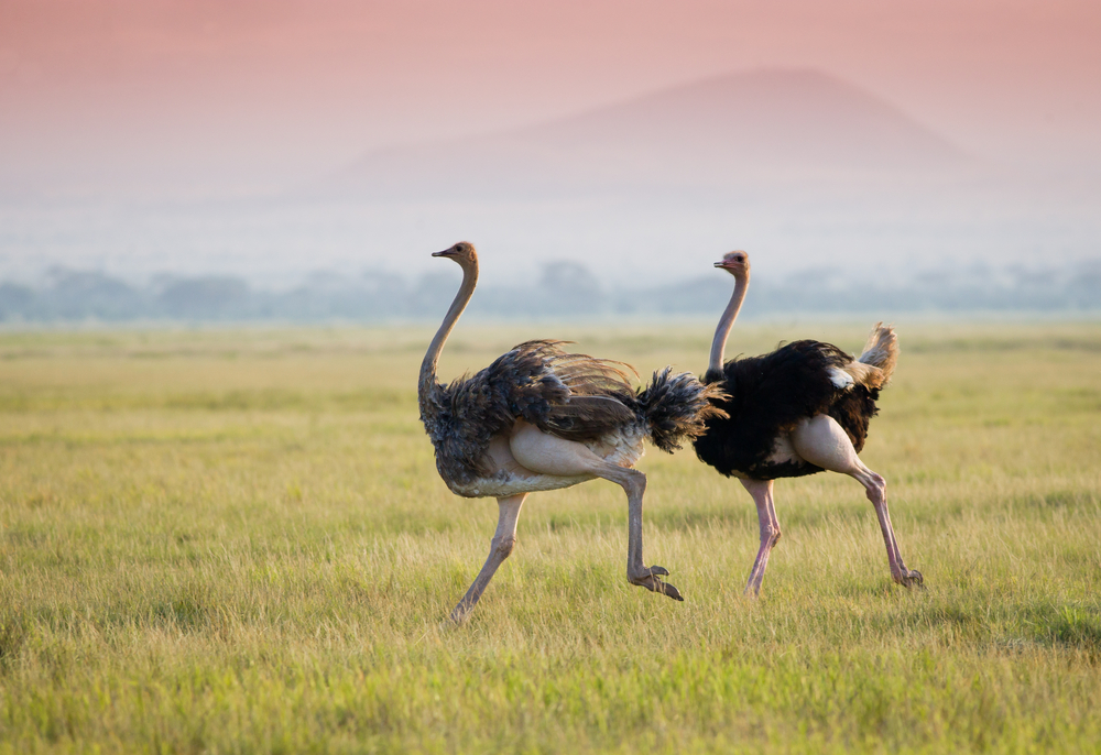 The incredible ostrich