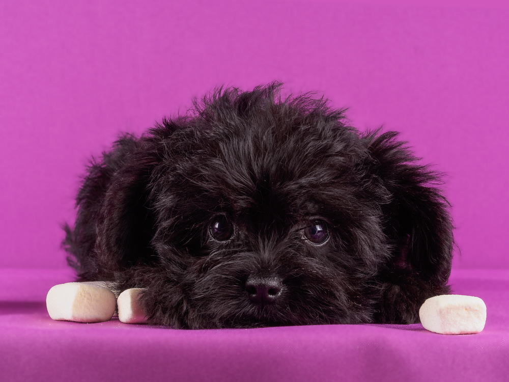 Three toy dogs to consider