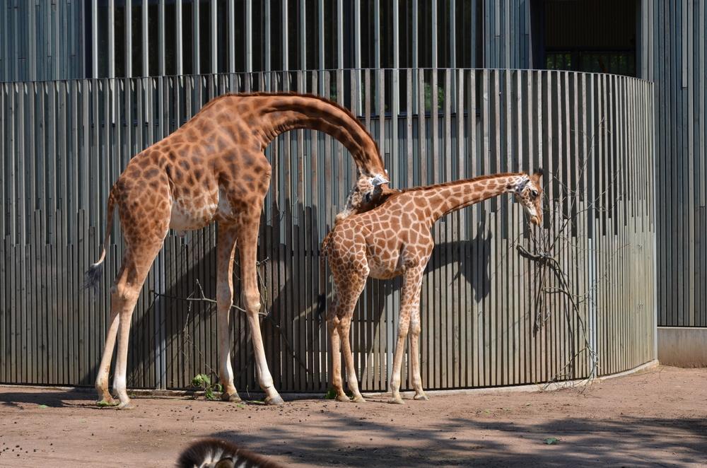 How does a giraffe sleep?