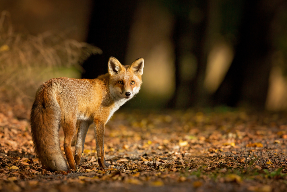 Fascinating fox facts